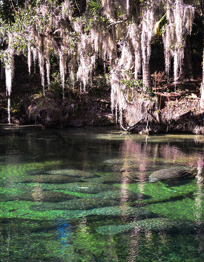 Blue-Spring_contest_Valerie-McDeavitt_Manatee-chilling-in-the-spring
