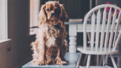 Mantenha seu animal de estimação seguro e calmo durante a remodelação da casa