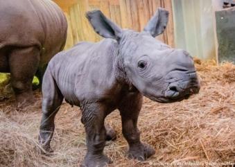 Raro rinoceronte branco nasce no Zoológico de Tampa e é atração para visitantes