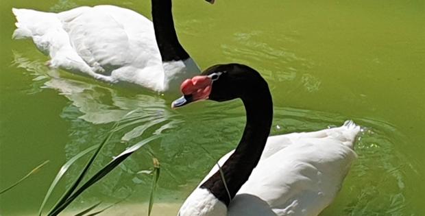 Cisnes bebês, de rara espécie, são atrações do Lake Eola Park em Orlando