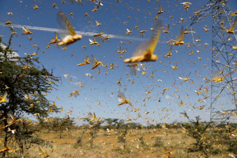 Surto de gafanhotos avança em 15 Estados com devastação de lavouras nos EUA